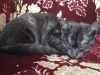 Egyptian Mau  Black Smoke Sud