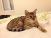 Bronze Egyptian mau female (Yosefa)