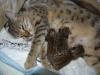 Bronze Egyptian Mau kittens