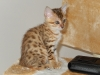 bronze Egyptian Mau litter Isabella