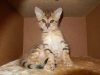 bronze Egyptian Mau litter (Indi)
