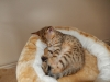 bronze Egyptian Mau litter Ilana