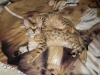 bronze Egyptian Mau litter (indi and Isabella)