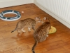 bronze Egyptian Mau litter Indi and Yosefa