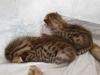 bronze Egyptian Mau litter at  12 days