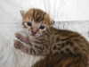 bronze Egyptian Mau litter at  12 days