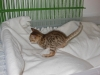 bronze Egyptian Mau litter