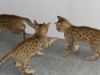 bronze Egyptian Mau litter (Isabella-back- Ilana, Indi)