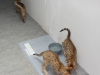 bronze Egyptian Mau litter (Ilana, Indi and Isabella )