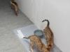 bronze Egyptian Mau litter (Ilana, Indi and Isabella )