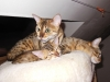 bronze Egyptian Mau litter(Indi with Yosefa and Florina)