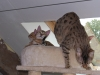 bronze Egyptian Mau litter(