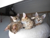 bronze Egyptian Mau litter (indi, Isabella, ilana and Yosefa)