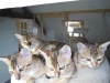 bronze Egyptian Mau litter( Indi, Ilana, Isabella and Yosefa in the back)