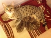 Bronze Egyptian Mau kittens