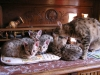 litter of bronze egyptian mau 05/02/2012 5