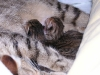 egyptian mau bronze litter 05/12/2011