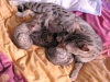 litter of bronze egyptian mau  6-16/01/2012 2