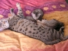 litter of bronze egyptian mau  6-16/01/2012 6