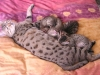 litter of bronze egyptian mau  6-16/01/2012 8