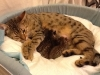 egyptian mau bronze litter 06-12-2011-