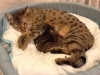egyptian mau bronze litter 06-12-2011-9