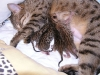 egyptian mau bronze litter 07-12-2011 2