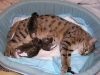 egyptian mau bronze litter 07-12-2011 4