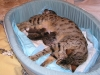 egyptian mau bronze litter 07-12-2011 6