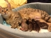 egyptian mau bronze litter 07-12-2011-1