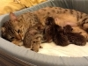 egyptian mau bronze litter 07-12-2011-3