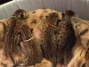 egyptian mau bronze litter 07-12-2011-4