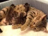 egyptian mau bronze litter 07-12-2011-6
