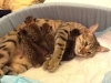 egyptian mau bronze litter 07-12-2011-8