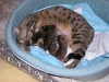 egyptian mau bronze litter 08.12.2011