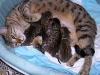 egyptian mau bronze litter 09.12.2011