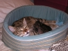 egyptian mau bronze litter 11.12.2011