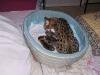 egyptian mau bronze litter 12.12.2011