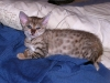 litter of bronze egyptian mau  6-16/01/2012 42