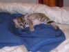 litter of bronze egyptian mau 6-16/01/2012 44