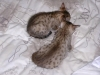 litter of bronze egyptian mau  6-16/01/2012 48