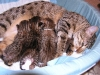 egyptian mau bronze litter 13.12.2011