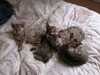 litter of bronze egyptian mau 6-16/01/2012 50