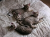 litter of bronze egyptian mau 6-16/01/2012 54