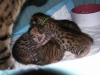 egyptian mau bronze litter 15.12.2011
