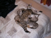 litter of bronze egyptian mau 6-16/01/2012 58