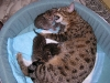 egyptian mau bronze litter 16.12.2011 2