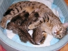 egyptian mau bronze litter 16.12.2011 4