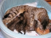 egyptian mau bronze litter 16.12.2011 6