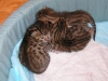 egyptian mau bronze litter 16.12.2011 10